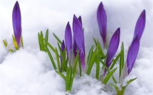 krokus sneeuw (Medium)