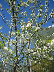 Eldense Blauwe in bloei (Medium)