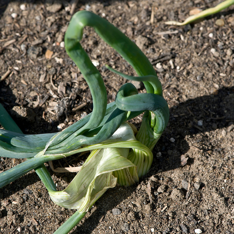 100528-002-Onion-eelworm