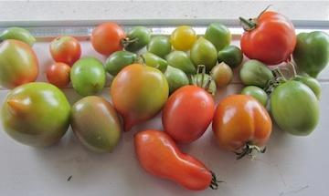 Narijpende-tomaten